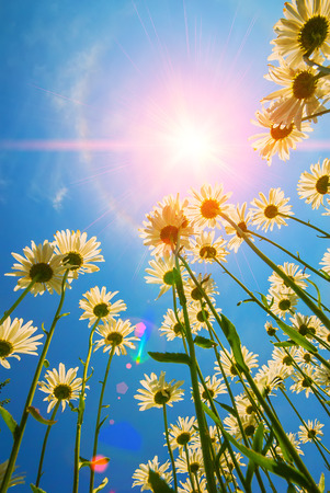 blooming daisy flowers on a background of blue sky and sun rays Banco de Imagens