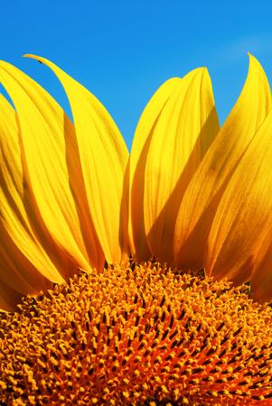 open flower of sunflower against the blue sky sunny day photo