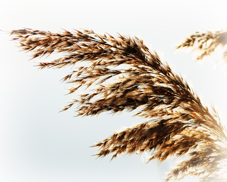 carex: whisk reeds waving wind on a light background