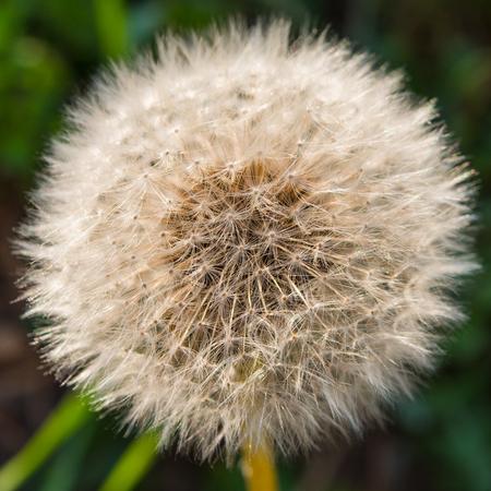 dandelion field: Cap dandelion field. Macro.
