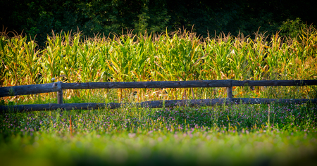 rustic plot, wooden fence and a corn field photo
