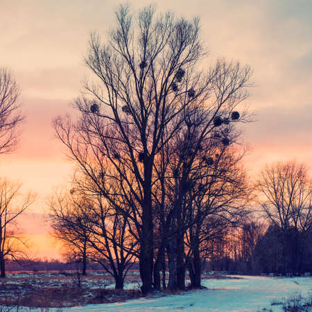 trees against the evening sky in the village, the winter season photo