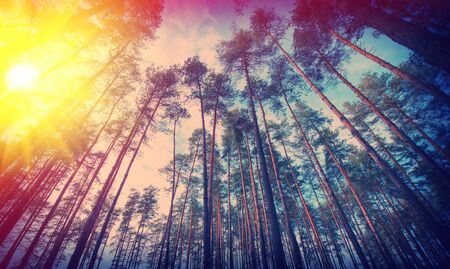 Rural landscape of pine woods and sunny day photo