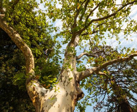 sicomoro: sic�moro en el parque, temporada de verano