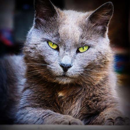 portrait of domestic cat closeup photo