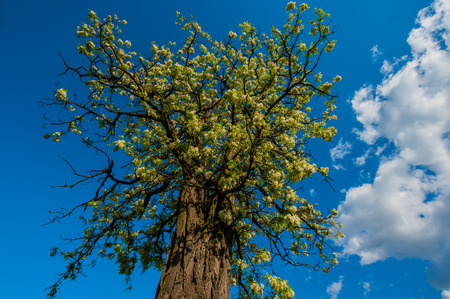 flowering acacia tree against the blue sky photo