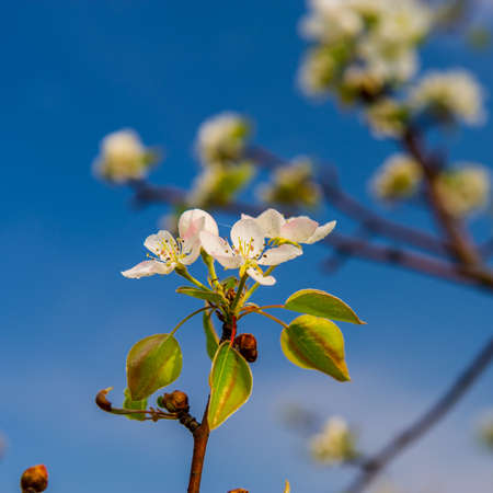 inflorescence: inflorescence pears on a blurred blue background