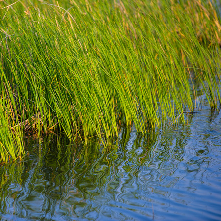 waterweed: young green reeds and reflection in the water,  spring season Stock Photo