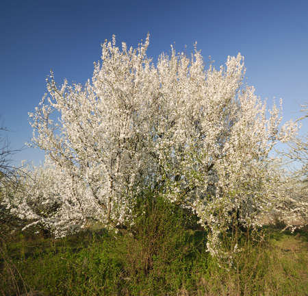 day flowering: flowering plum tree in the garden on a sunny day Stock Photo
