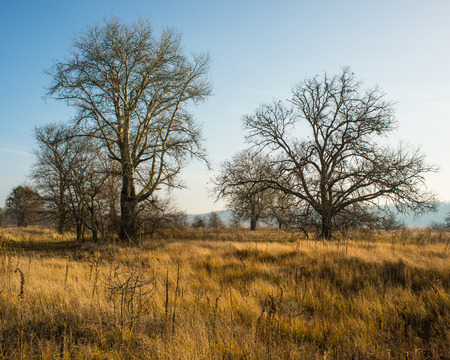 large trees: large trees in the meadow Stock Photo