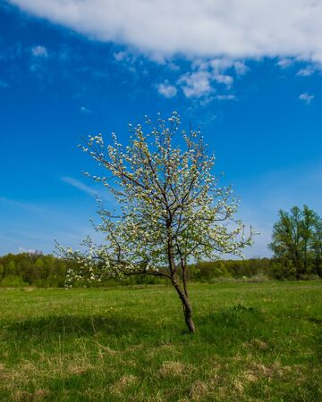 day flowering: flowering pear tree in the forest on a sunny day
