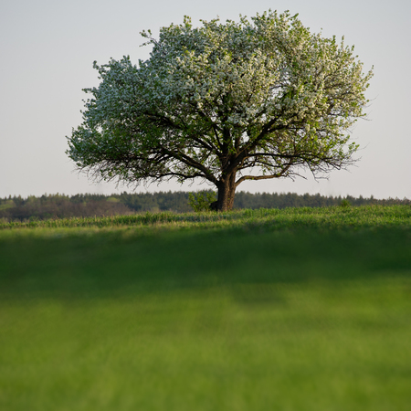 day flowering: Flowering single tree in a field on a sunny spring day