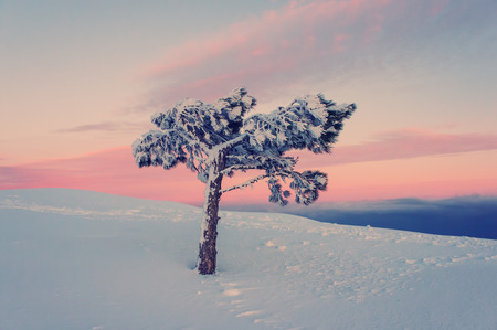 lone pine: lone pine tree in the snow in the mountains