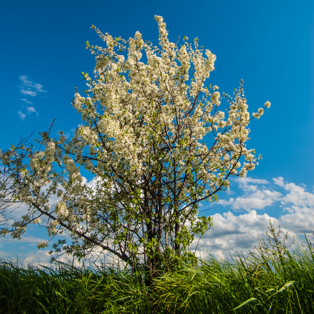 day flowering: flowering tree in the steppe in a spring day