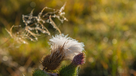 thistle flower on a soft background sunny day