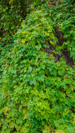 vertical panoramic photo, tree trunk covered in hops Stock Photo