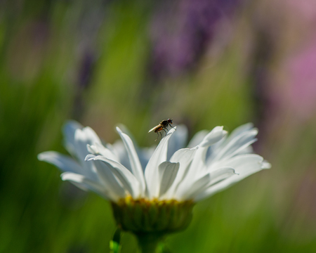 daisy flower anf fly on a blurred green background Stock Photo