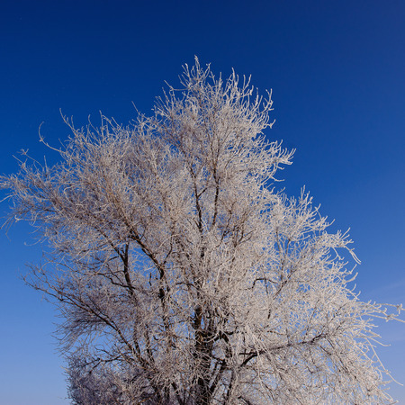tops of trees covered with hoarfrost against the blue sky