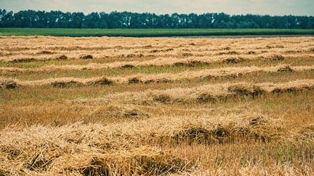 wheat field after harvest, rural landscape Stock Photo