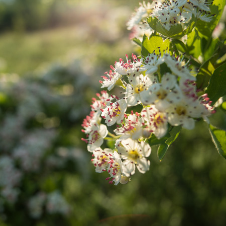 Inflorescence of hawthorn flowers on a sunny morning in the meadow Stock Photo