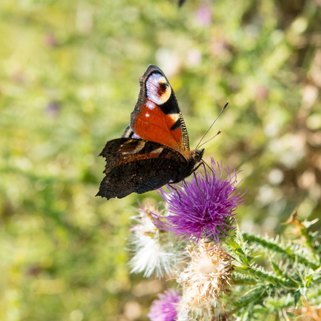 butterfly sits on a meadow flower of thistle
