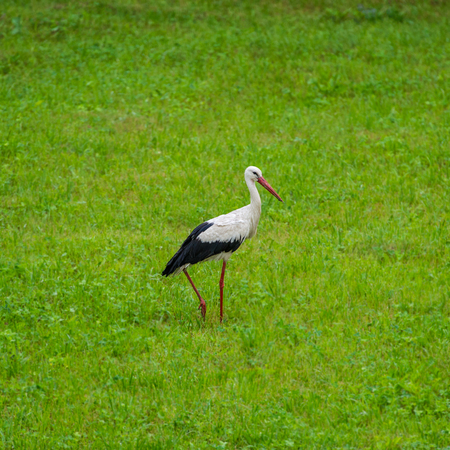 Stork in the meadow in the morning in the countryside