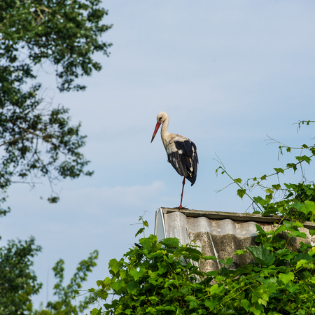 Stork on the roof in the morning in the countryside