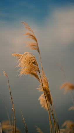 common reed: Ear of reeds against a stormy sky