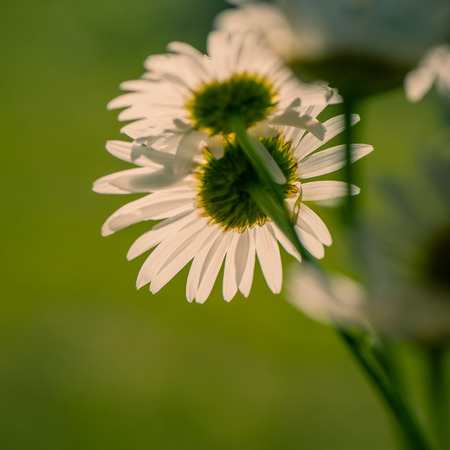 commercial medicine: Summer bouquet of daisies field green background Stock Photo