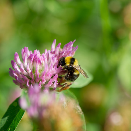 Bumble bee gathers nectar and pollen on a clover flower