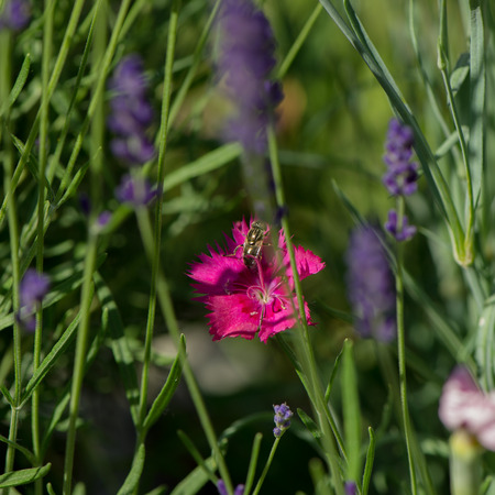 pink carnation flowers and a fly on a blurred green background. Summer season. Decorative flowers.