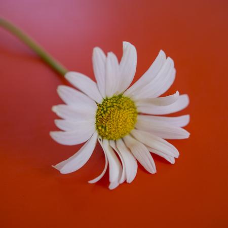 daisy field flower on an orange background. Summer season. Meadow flowers.