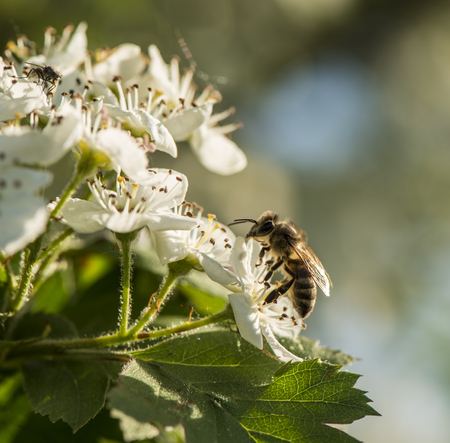 bee collects the nectar from the flowers of the hawthorn. Spring flowering.