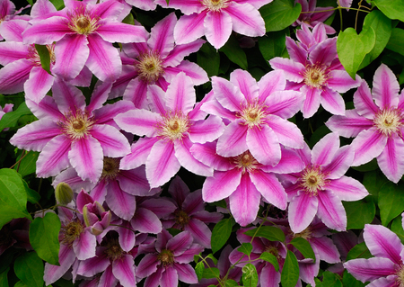 Decorative flowers of the clematis in the spring garden in the decorative flowers of the clematis in the spring garden in the village stock photo mightylinksfo