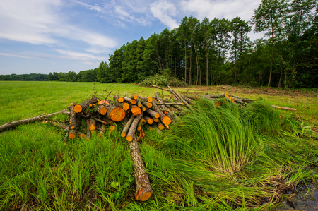 Cropped logs of alder trees are stored in the meadow. Deforestation, destruction of deciduous forests. Cutting valuable species of trees under the pretext of sanitary cleaning the forest. Europe