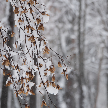 snow covered branches in the park covered with snow on a blurred background of trees. Winter landscape in an urban environment. Banque d'images