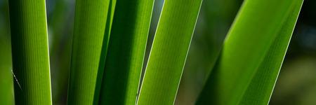 stalks of calamus swamp on a sunny morning. Autumn season. Banner for design.
