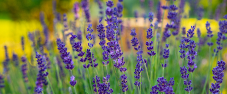 Blooming lavender in the countryside garden in the evening. Web banner for your design. Ukraine. Europe. 版權商用圖片