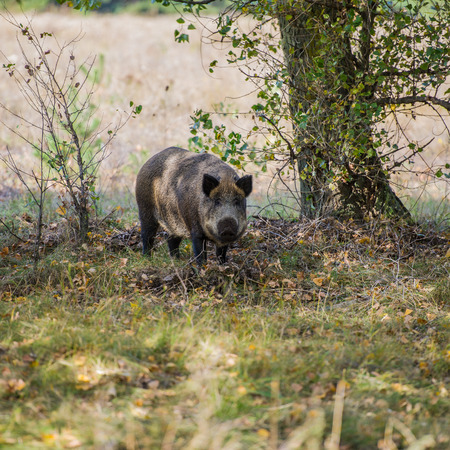 Female wild boar on the background of the autumn forest. Habitat. Banco de Imagens