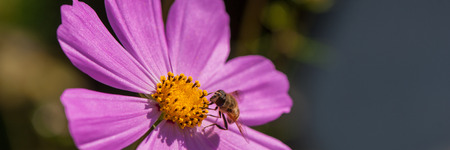 bee drone collects nectar from a pink-purple flower, close-up. Summer season. Web banner.