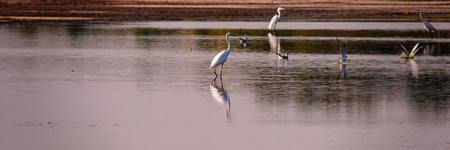 egrets searching for food in the shallow water of the lake in the evening. Summer season. Ukraine. Europe.