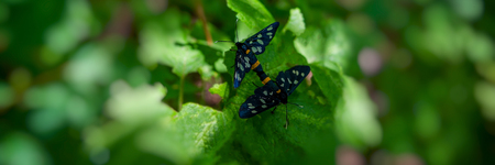 pair of forest butterflies are sitting on the green foliage of the shrub.Web banner for your design.