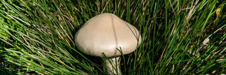 One mushroom in the grass, autumn season. Web banner for your design.
