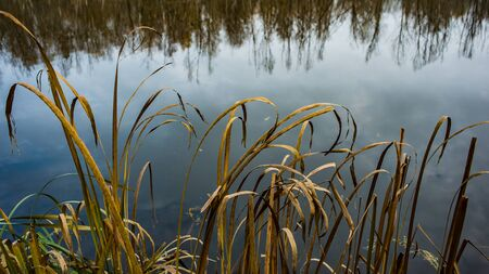 Stems of Dry Reed on the Background of Water in the River. Autumn landscape. Stock Photo
