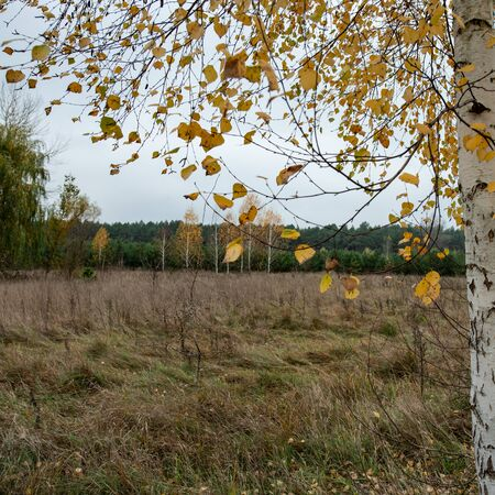 Birch branches and yellow foliage. Autumn landscape. Stock Photo