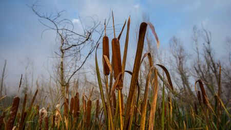 plants of dry reeds against the sky. Autumn season, October.