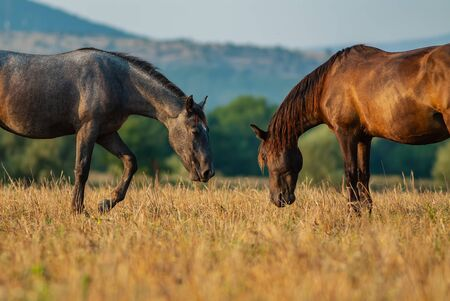 horses graze on a summer pasture in the highlands. Summer season, August.