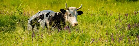 Domestic cow on pasture, in the afternoon in the meadow among the herbs. Summer season, June. Web banner.