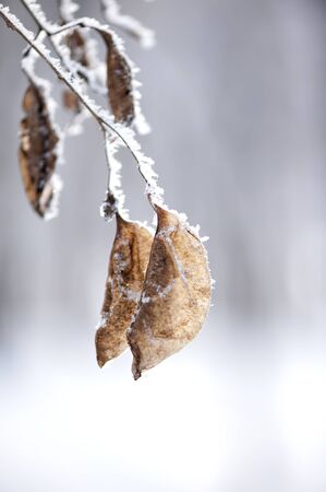 branch with dry foliage covered with snow and hoarfrost on a light blurry background. Winter season, january. For design.