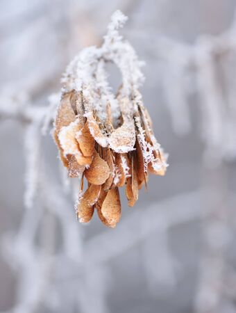 branch with maple seeds covered with snow and hoarfrost on a light blurry background. Winter season, january. For design.